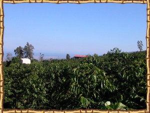 Kona Ken's coffee bean farm