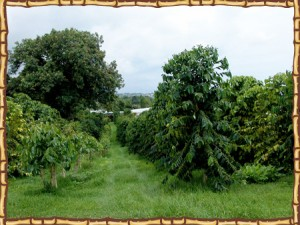 Kona Ken's coffee bean trees