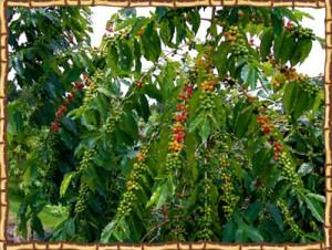 Kona Ken's coffee bean tree