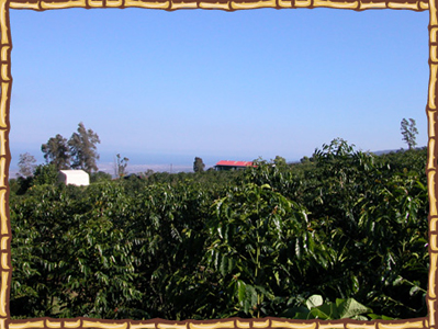 Kona Ken's coffee farm