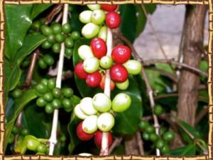 Kona Ken's coffee beans