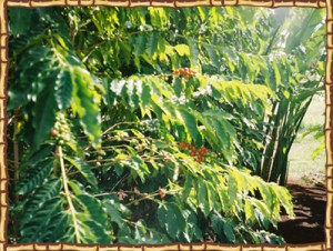 Kona Ken's coffee farm