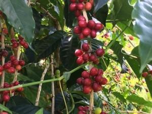 Kona Ken's coffee beans 2015
